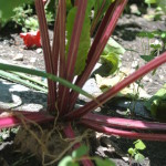 When to Harvest Beets? My Organic Garden Harvest