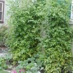 My Harvest So Far – My Organic Garden Update