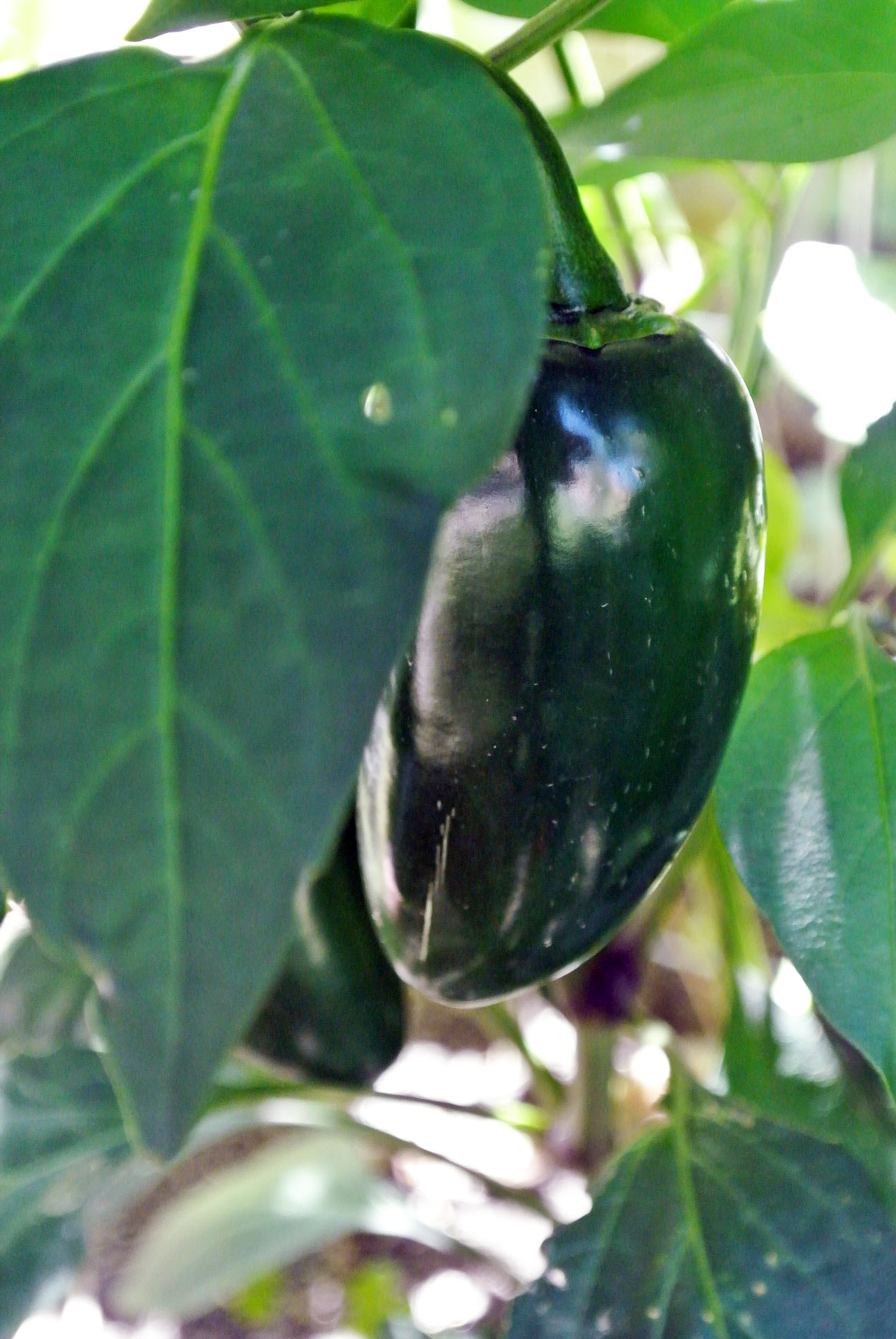 Dark Green Jalapeno with Corking